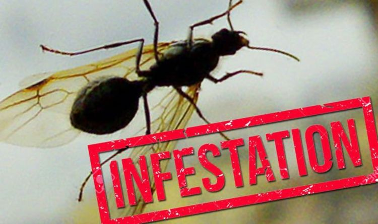 How to get rid of ants: Flying Ant Day sees infestations at a high – what can you do?
