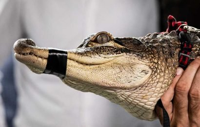 Chicago spent more than $30K to capture 'Chance the Snapper'