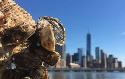 How oyster shells from NYC restaurants are recycled to restore reefs