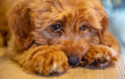 Labradoodle Creator Dogged By Personal Regrets