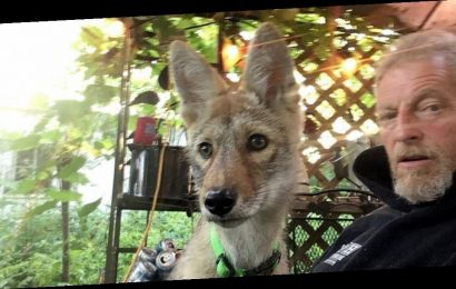 Man Fighting To Retain His Emotional Support Coyote