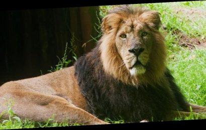 Zoo euthanises ageing lion called Lucifer as he 'shows signs of wear and tear'