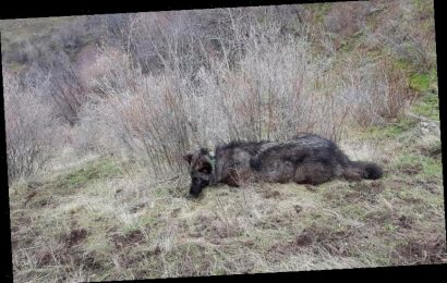Reward Boosted To $7,500 For Nailing Killer Of Endangered California Wolf