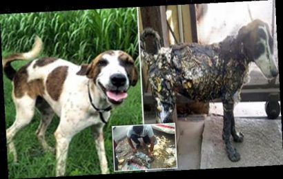 Heartwarming transformation of rescue dog who was found covered in TAR