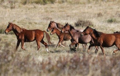 'Kosciuszko is in trouble': call for federal intervention on feral horses
