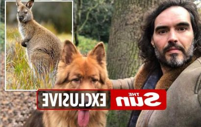 Russell Brand's dog mauls wallaby to death on walk but comic bravely manages to save joey